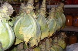 Хранение капусты