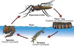 Стадии развития комара.