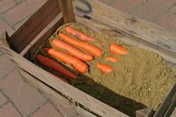 Для того, чтобы морковь хорошо сохранилась, ее необходимо сложить в ящик и засыпать песком.