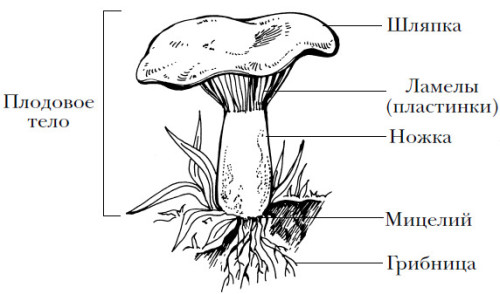 Схема гриба.