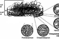 Схема роста плесневых грибов.