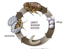 Схема цикла жизни блохи