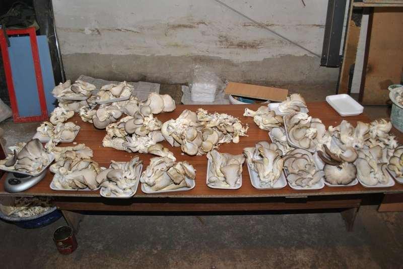 Выращивание грибов в погребе