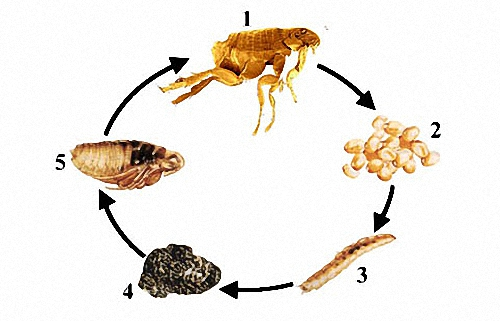 вывести паразитов домашним способом
