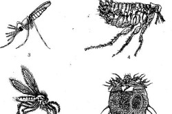 Схема членистоногих переносчиков инфекционных заболеваний