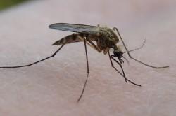 Подвальный комар-пискун